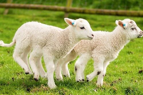 Nhau Thai Cừu Có Thật Sự Tốt Như Những Lời Quảng Cáo Bạn Thường Nghe?